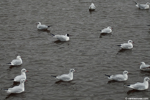 Black-headed Gulls, one with active head moult to summer plumage
