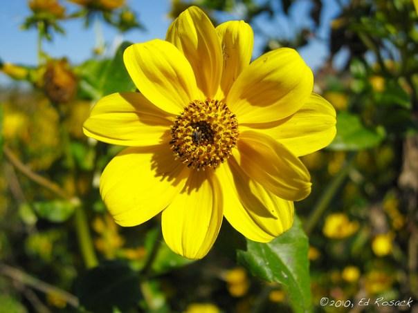 Marsh flower close up - sunflower?