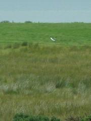 Male Hen Harrier