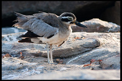 Great Stone-curlew (Embedded Images Inside)