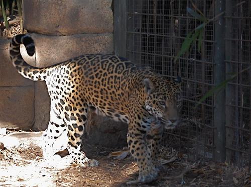 Baby Jaguar