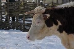 Hereford Rind im Gaia Park Kerkrade im Februar 2010