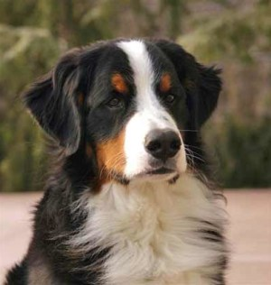 7 bernese mountain dog