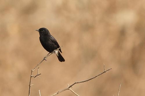Bushchat, Male