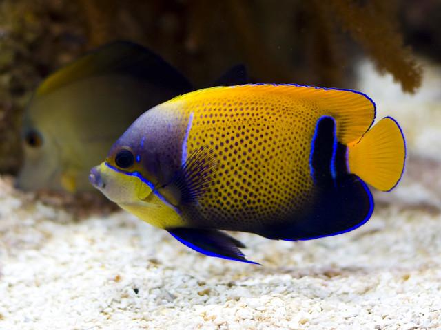 Blue-gridled Angelfish