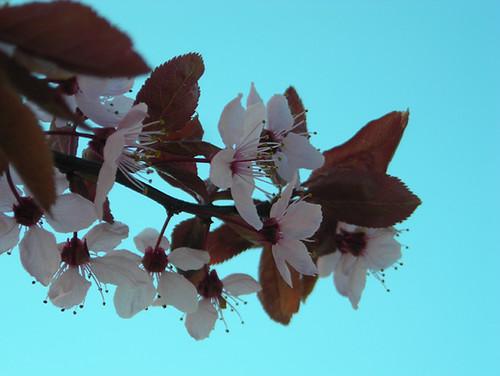 Spring blossoms {021/365}