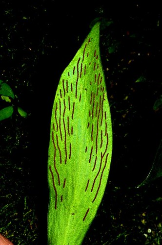 Antrophyllum callifolium, Ox-tongue Fern