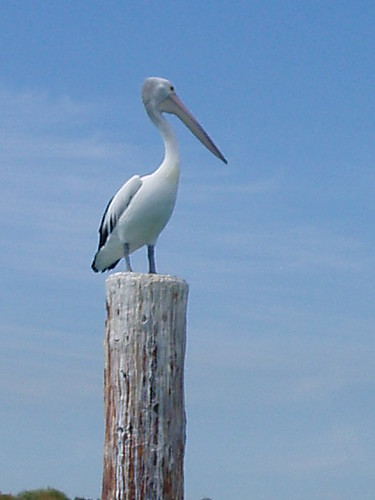 Pelican at Woodman Point