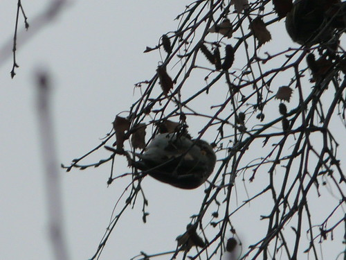 Mealy Redpoll (just about)