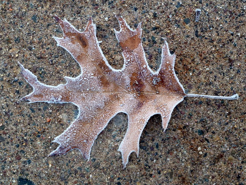 Frosty single oak leaf
