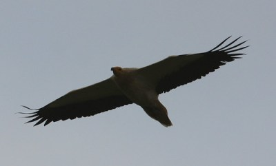 2011_03_16 POZ - Egyptian Vulture (Neophron percnopterus) 02 by Mike at Sea