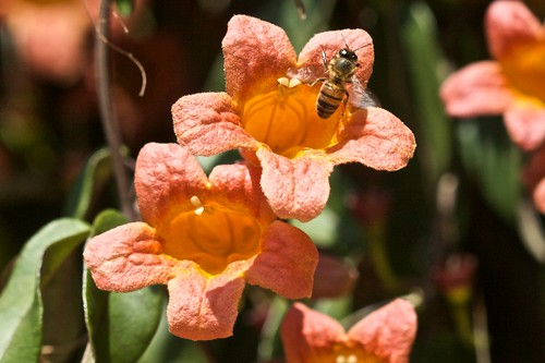 Bees on Crossvine