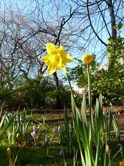 springtime daffodils in St Stephens Green - 27 Feb