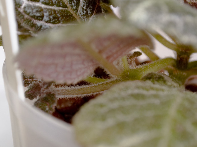 Episcia 'Jim's Patches' - Stolons
