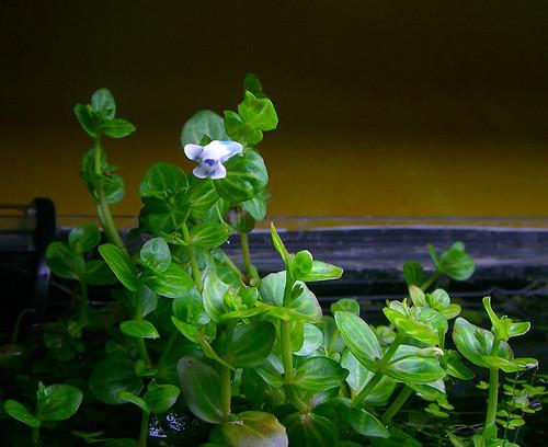 Lindernia rotundifolia flowering