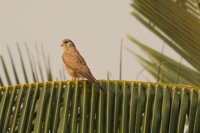 Common Kestrel Male
