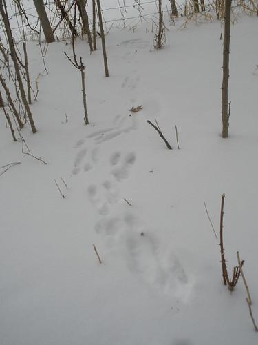 Rabbit Tracks in the Woods