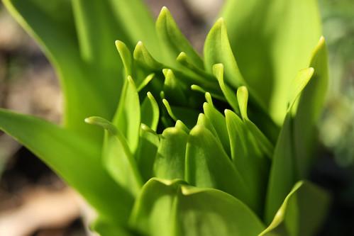 Fritillaria Macro