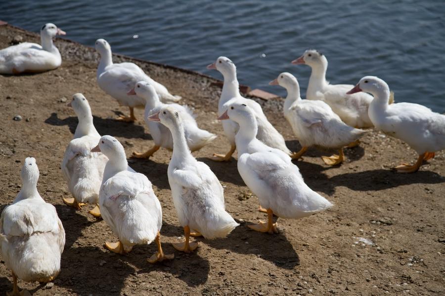 20110205_04_Beautiful Duckling_05