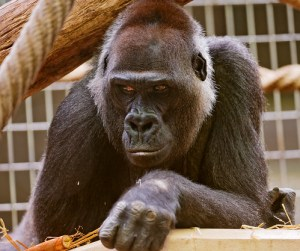 Cool looking chief gorilla