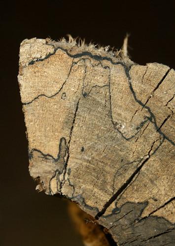 mycelium in firewood