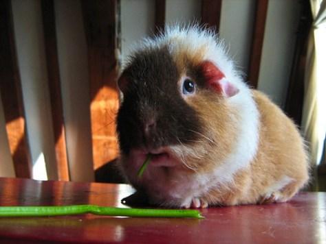 Guinea Pig Daan