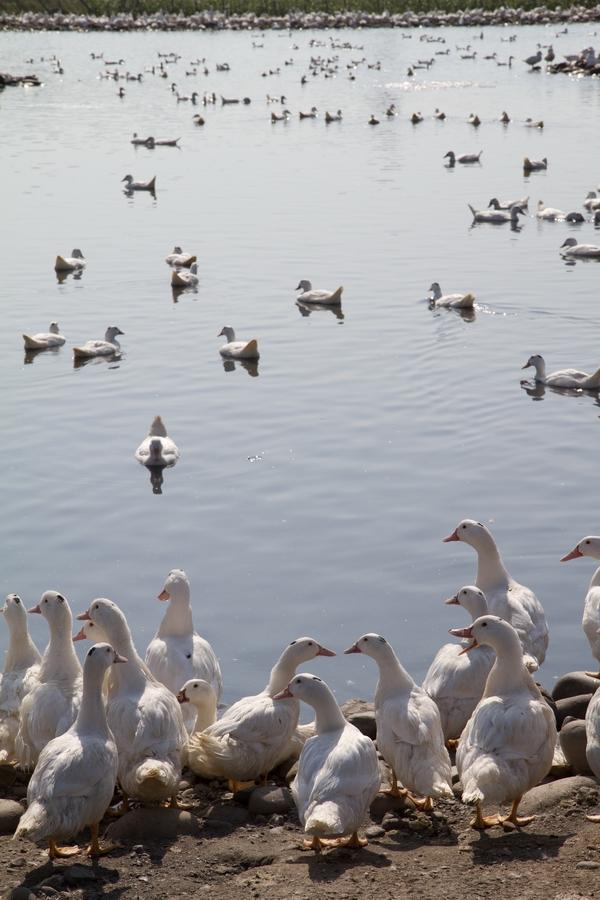 20110205_12_Beautiful Duckling_03