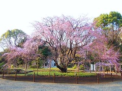 Weeping cherry tree began to bloom, 六義園(Tokyo,...