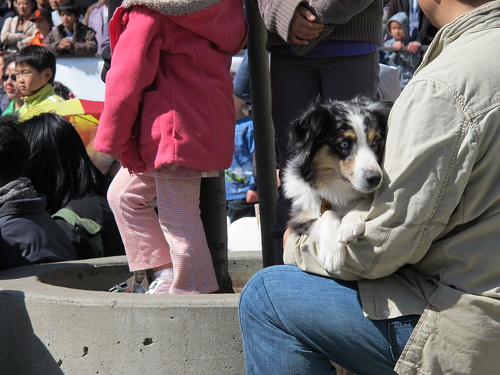 Australian Shepherd Northern California Cherry Blossom Festival