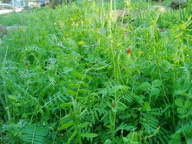 Open Lotus Garden Cover Crop