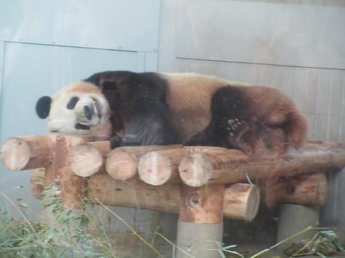 """""""Ri Ri"""" the Giant Panda, Ueno Zoo"""