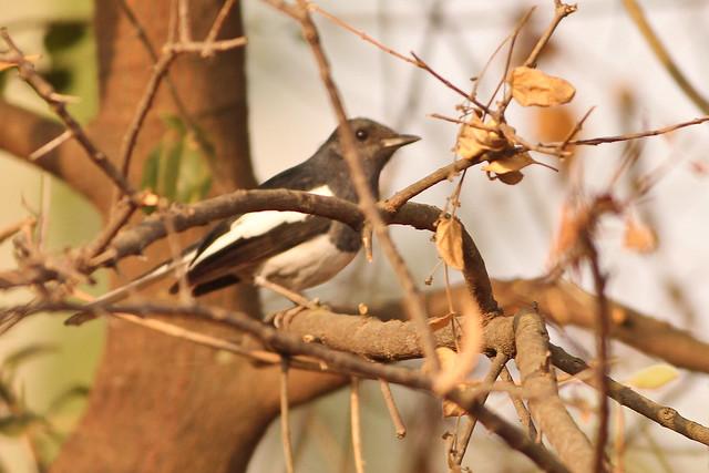 Robin Magpie - Female