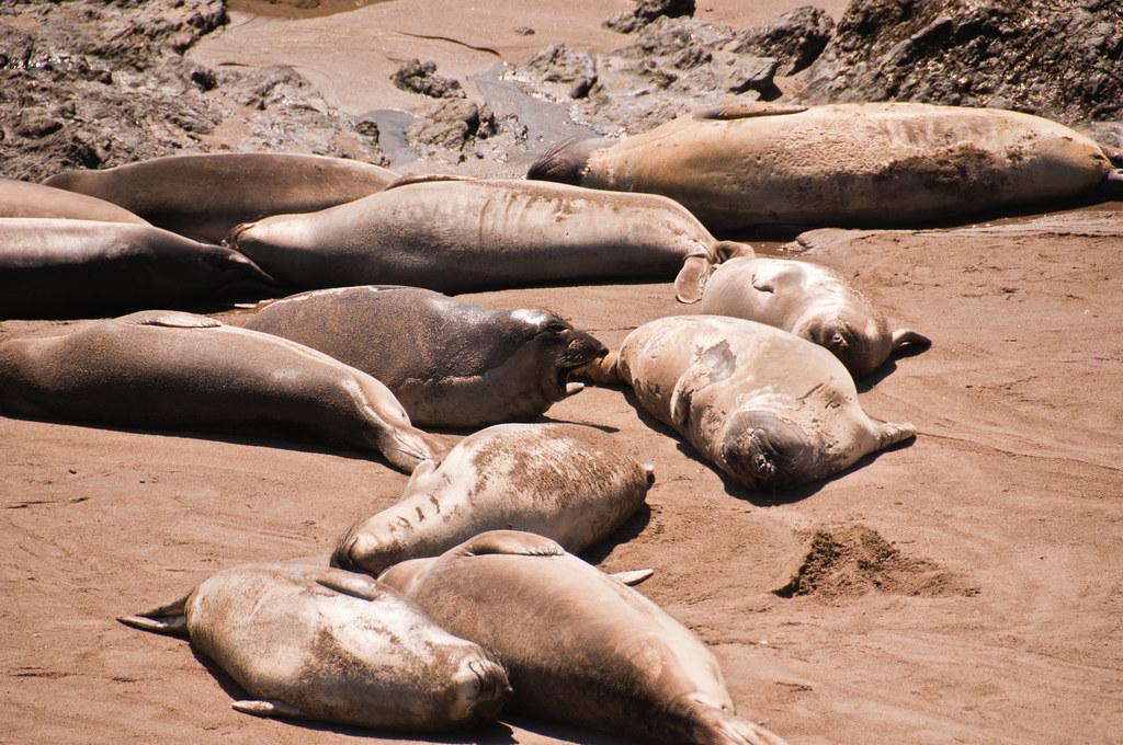 Elephant Seals near Hearst Castle