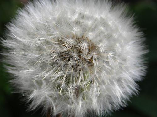Dandelion {035/365}