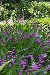 泉の森(ふれあいの森)のシラン(Orchid, Izuminomori park, Yamato, Kanagawa, Japan)