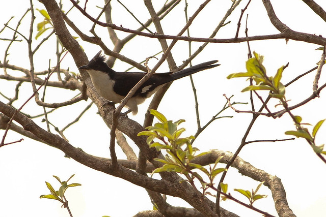 Pied Cuckoo -- Winter Migrant