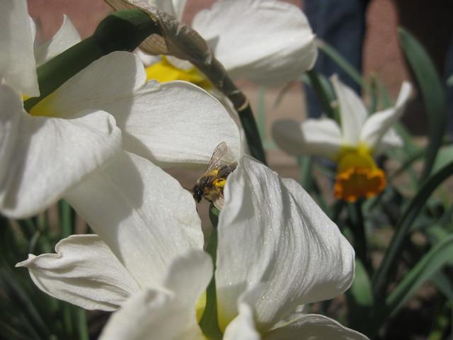 De la visite dans les narcisses / A visitor in the Narcissus