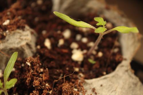 Tomato Seedling