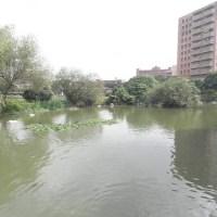 四月天的台大校園5 _茱瑾花+茳茳鹹草