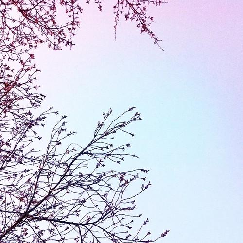 蕾。 会社を出たとこに桜の木が、あってもうそろそろ開花しそうでした。来週にはパッと咲いてるかも。 #sakura