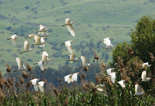 Cattle Egrets, Hula Nature Reserve