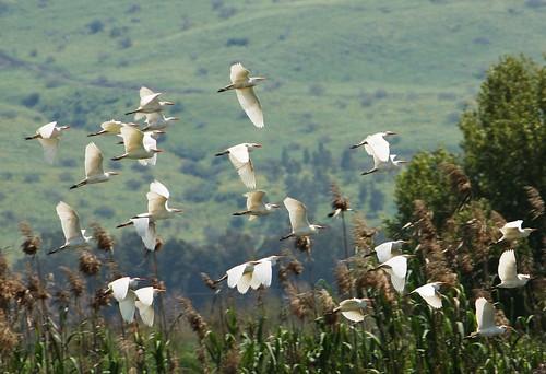 Cattle Egrets, Hula Nature Reserve
