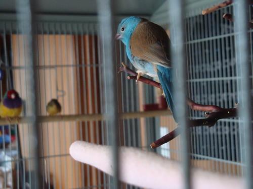 cordon bleu waxbill