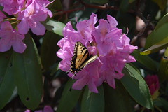 Monarch on Rhododendron