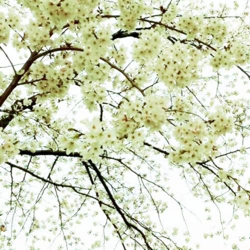 可憐。  今朝の桜でした。 さぁ、あと半日、がんばるべ。ლ(╹ε╹ლ) #afternoon #sakura