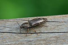 生田緑地のシモフリコメツキ(Beetle, Ikuta Ryokuchi Park, Kawasaki, Kanagawa, Japan, 2011)