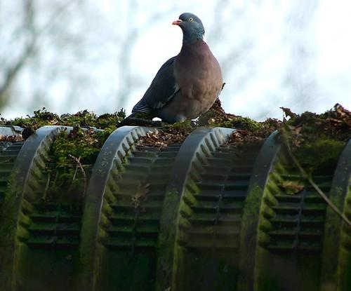 Taube por niedersachsenfoto