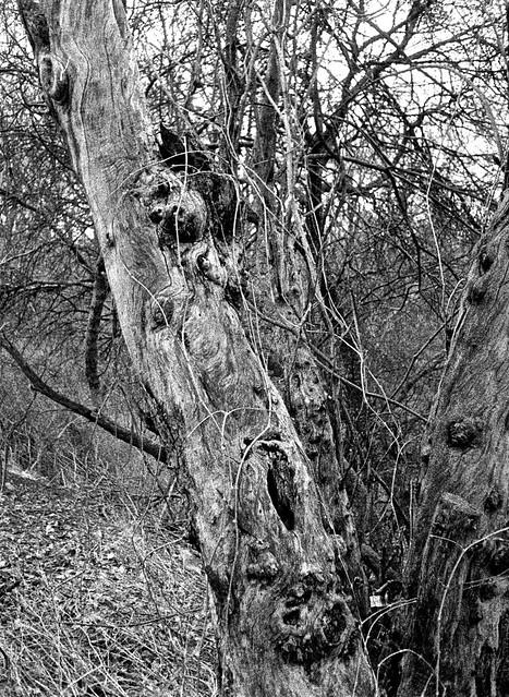 Dead Tree In Earl Bales Park, Toronto, Olympus EE-3