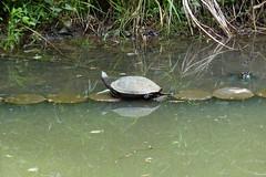 生田緑地のミシシッピアカガメ(Tortoise, Ikuta Ryokuchi Park, Kawasaki, Kanagawa, Japan, 2011)