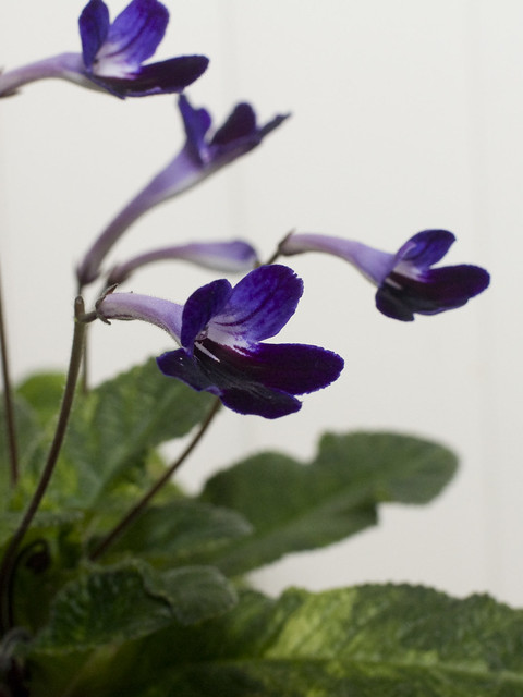 Streptocarpus 'Snowy Night'
